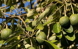 how to save a dying avocado tree